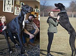 世界最高的狗 美国大丹犬身高达2.1米