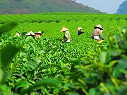 铁观音是什么茶有哪些品种?铁观音的功效作用