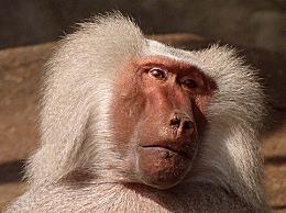 大猩猩和狒狒哪种属于猴科动物