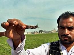 巴基斯坦捉蝗虫赚钱