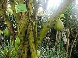 世界上最神奇的树 果实杀伤力堪比手榴弹