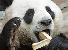 芬兰或送熊猫回中国