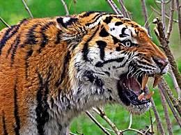 世界上最大的老虎 身長為2.8米