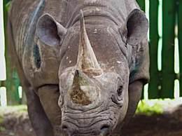 世界上最长寿的犀牛 活了57年