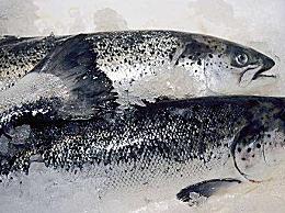 外媒曝挪威三文鱼养殖罪恶 养殖条件拥挤肮脏 已变成S型畸形鱼