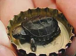 世界上最小的龟 仅有瓶盖大小