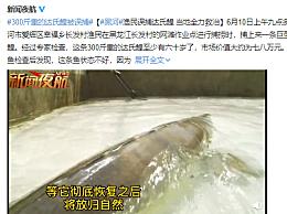 黑龙江渔民捕获300斤重巨型鱼