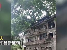 重庆400年老树穿楼生长