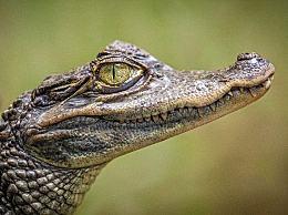 为什么鳄鱼吃猎物的时候会流泪?鳄鱼的眼泪通常形容什么