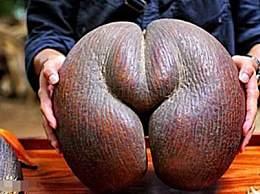 世界上最大的果实 海底椰重达46斤