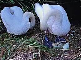 雄天鹅因蛋被毁出走