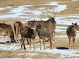 国家1级保护动物白唇鹿知识荟萃