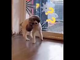 狗子被撞头见人就歪头
