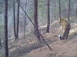 山西沁源发现四只华北豹 首次通过影像证实华北豹存在
