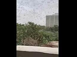 印度城市遭大批蝗虫入侵