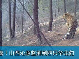 山西沁源发现四只华北豹 是当地首次通过影像资料证实华北豹的存在