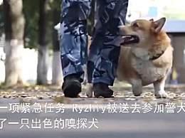 俄罗斯唯一一只柯基警犬退休