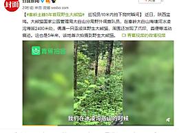 秦岭现野生大熊猫