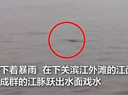 南京江面现成群江豚