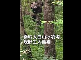 秦岭主峰5年来首现野生大熊猫