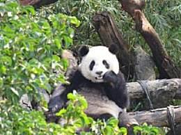 赠台大熊猫圆圆喜迎二胎