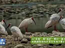 全球5000多只朱�q4100只在陕西