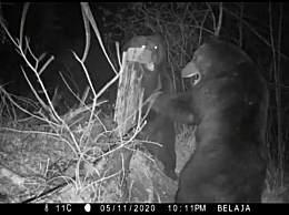 中俄边境两只熊打架