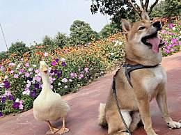 王珞丹发寻鸭启事