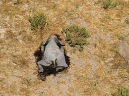 非洲350头大象接连离奇死亡