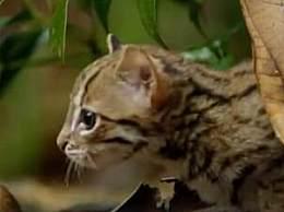 世界上最小的猫 仅有巴掌大小