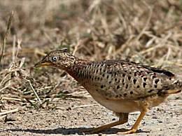 贵州山中龙吟为鸟类发出声源 名为黄脚三趾鹑的鸟类发出