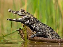 世界上最小的鳄鱼 因体型小曾被当宠物养