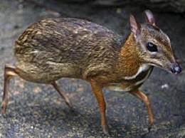 世界上最小的鹿 仅有巴掌大小