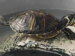 乌龟怎么辨公母 乌龟分辨公母小窍门大全