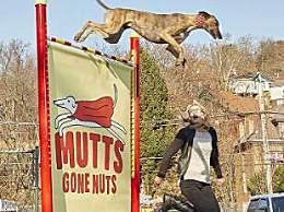 世界上跳最高的狗 这只狗跳191厘米创纪录