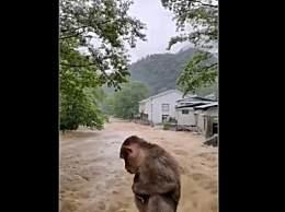 武夷山暴雨中猴子蹲桥上避险