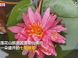 广州出现七蒂睡莲
