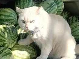 世界上最凶的猫 天生表情凶狠成网红