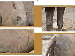 骆驼被卖后独行回家 一路跋山涉水身上伤痕累累