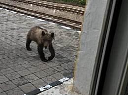 呼伦贝尔哈达火车站惊现黑熊 黑熊看上去瘦骨嶙峋