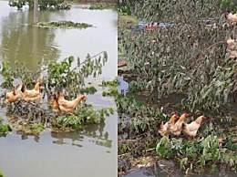 鸡群被洪水围困树枝7天 灾难前每个生物都在尽全力生存下去