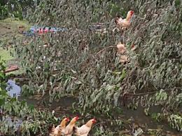 鸡群被洪水围困树枝7天