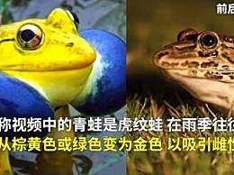 印度金色青蛙