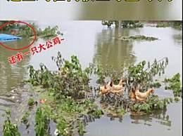 鸡群被洪水围困树枝7天 被称洪水中的鸡坚强