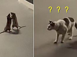 两老鼠互殴猫咪吓傻
