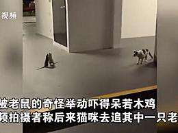 两只老鼠站立互殴一旁猫咪被吓傻