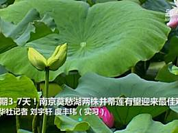 南京莫愁湖现两株并蒂莲