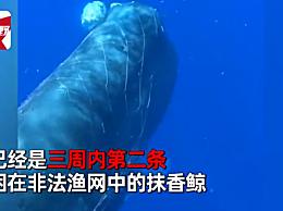 10米长抹香鲸遭渔网困住