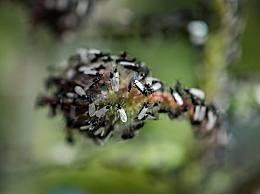 英国现巨型飞蚁群