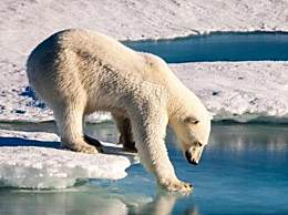 北极熊或将在2100年灭绝 气候变化致北极熊生存环境被破坏